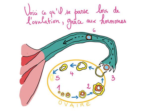 ovulation et endomètre