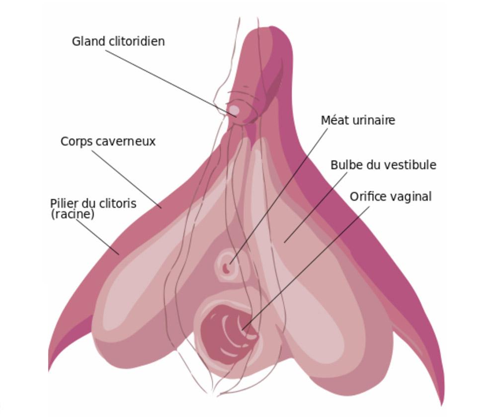 anatomie du clitoris