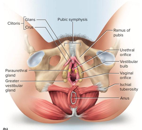 coupe de l'appareil génital féminin et clitoris